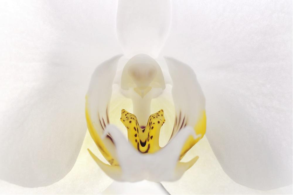 photoblog image Backlit Orchid